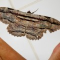 owl_moth_brazil_cesar
