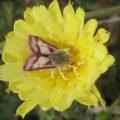 owlet_moth_heliolonche_richard