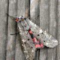 painted_tiger_moth_smargarita