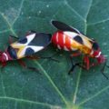 pale_red_bugs_mating_maris