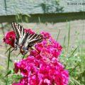 pale_swallowtail_jade