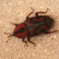 palmetto_weevil_juel