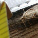pantry_moth_erika