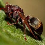 paper_wasp_australia_schwidvicious