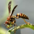 paper_wasp_caterpillar_karen