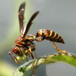 paper_wasp_caterpillar_karen