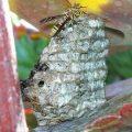 paper_wasp_nest_anna