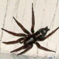 parson_spider_amy