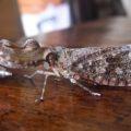 peanut_headed_bug_nicaragua