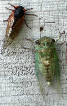 Periodical And Annual Cicada Together What S That Bug