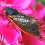periodical_cicada_venom
