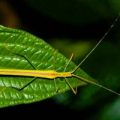 phasmid_costa_rica_john