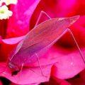 pink_katydid_costa_rica_jori