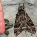 pink_spotted_hawkmoth_brazil_cesar