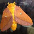 pink_striped_oakworm_moth_chris