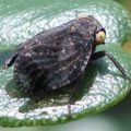 planthopper_pinetar