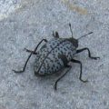 pleasing_fungus_beetle