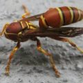 polistes_beheaded_fritz