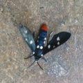 polkadot_wasp_moth_dys