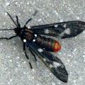 polkadot_wasp_moth_joan