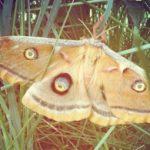 polyphemus_colorado