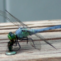 pondhawk_eats_fly_lisa