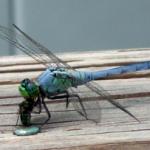 pondhawk_eats_fly_lisa