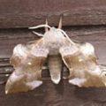 poplar_hawkmoth_uk_lindsey