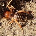 potato_bug_lawrence