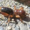 potato_bug_marin