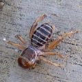 potato_bug_pomona