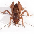 potato_bug_portrait_james_steidl_dorsal