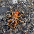 potato_bug_washington