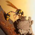 potter_wasp_australia_trevor