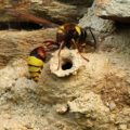 potter_wasp_portugal_frank