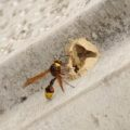 potter_wasp_switzerland_jpb