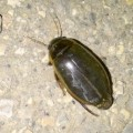 predaceous_diving_beetle_canada_2