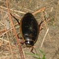predaceous_diving_beetle_krissy