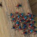 predatory_stink_bug_nymphs_melvin