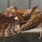 prominent_moth_australia_trevor