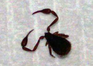 Pseudoscorpion What S That Bug