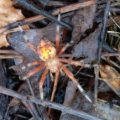 pumpkin_spider_guitry