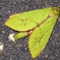 puriri_moth_new_zealand_nina