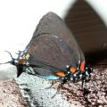 purple_hairstreak_daryll