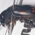 pustulated_carrion_beetle_skewered