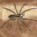 rabid_wolf_spider_kristin