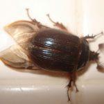 rain_beetle_rhoni