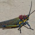 rainbow_bush_locust_madagascar_chad