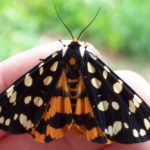 ranchmans_tiger_moth_dee