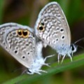 reakirts_blues_mating_texas